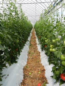 トマトのハウス