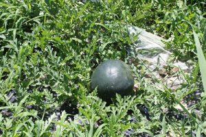 草の中に埋もれている黒スイカ