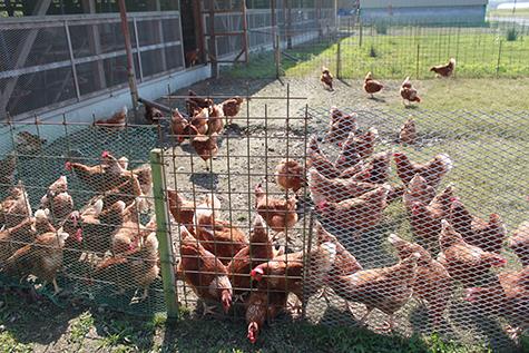 外で過ごす鶏